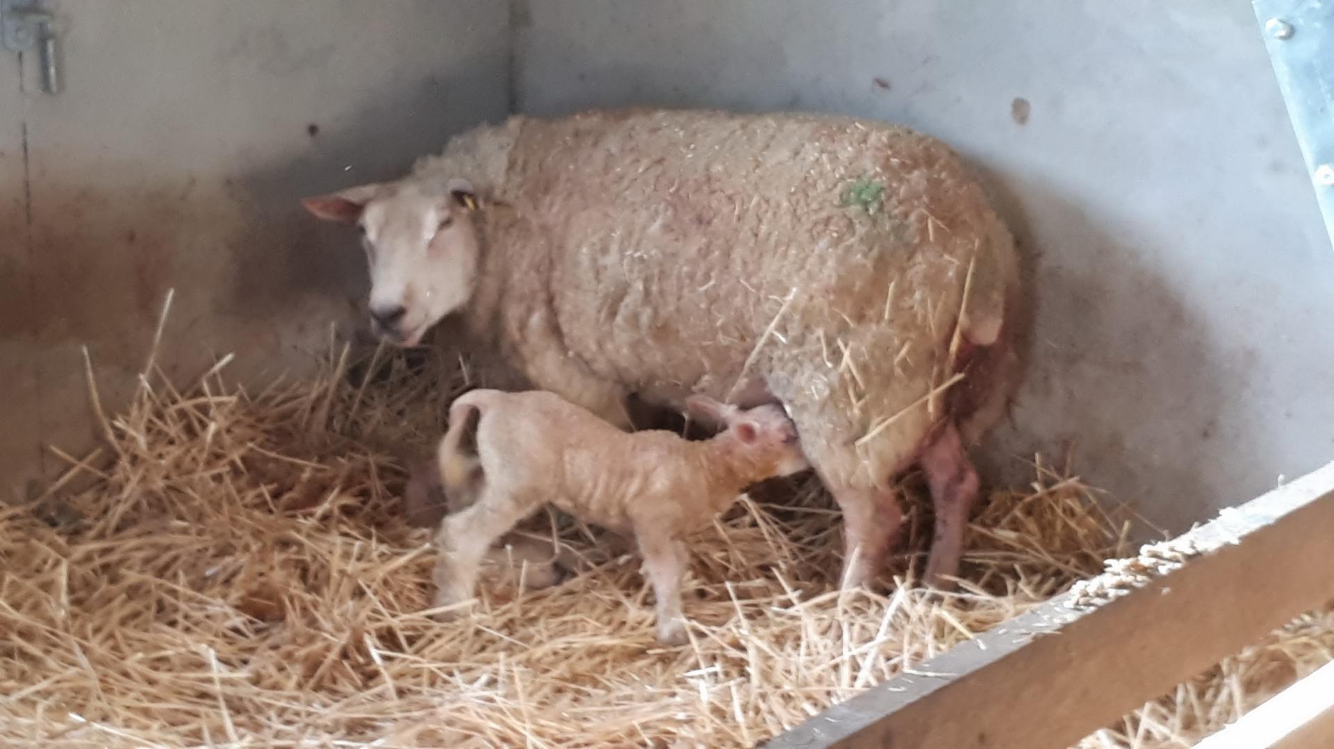 agneau venant de naître
