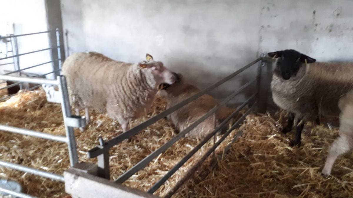 agnelles en maternité
