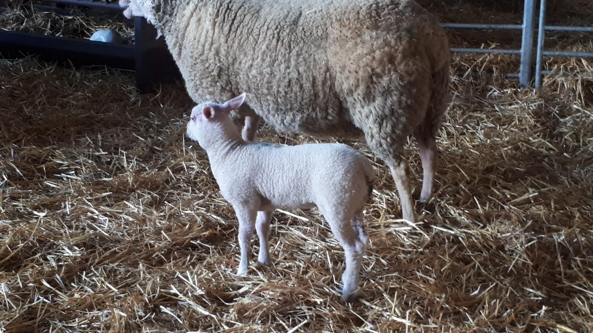 agneaux agés d'une semaine 4