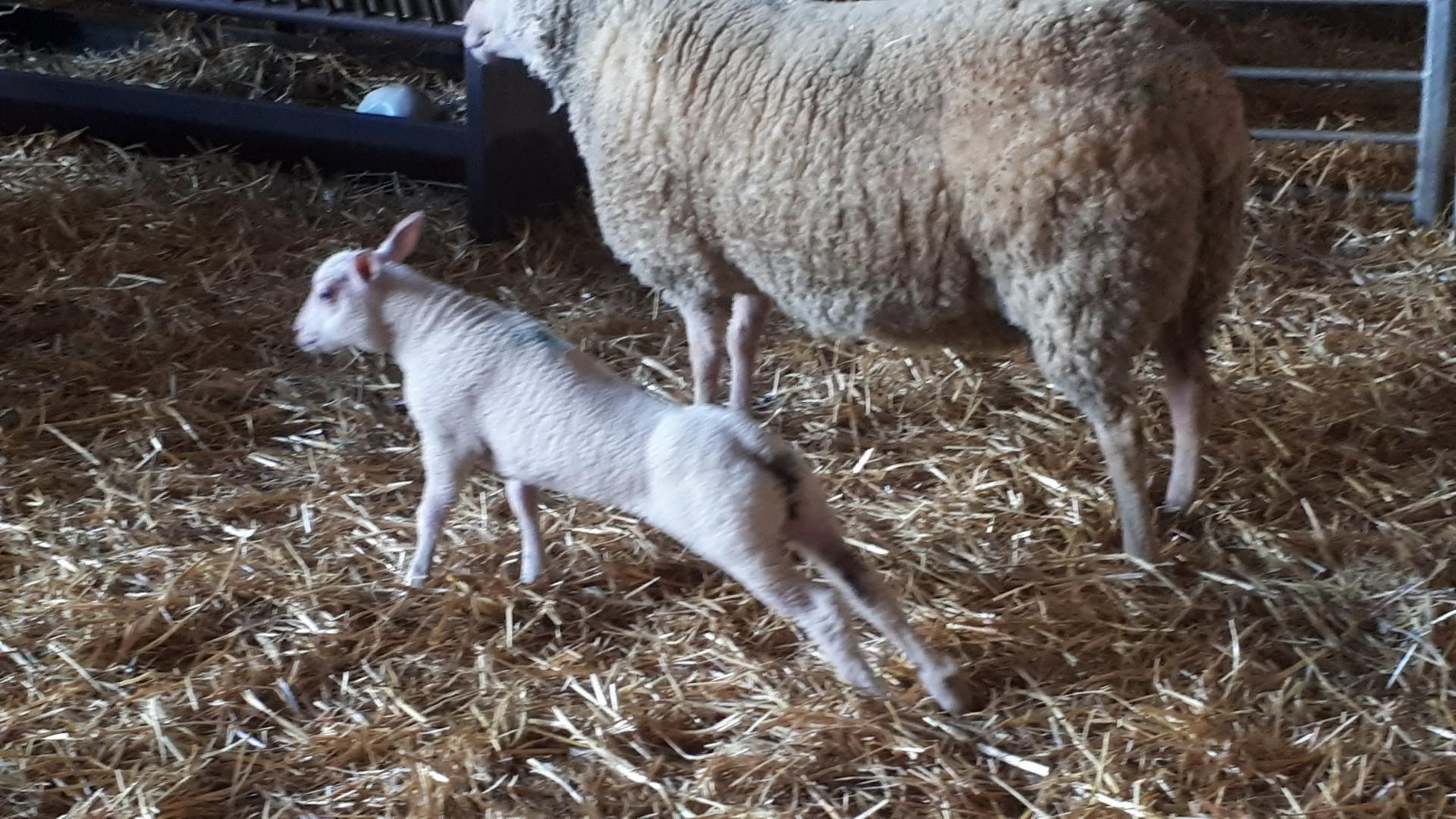 agneaux agés d'une semaine 3