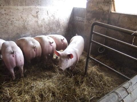 Etable des porcs 2
