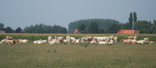 le troupeau au pâturage