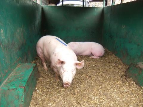 les porcs dans la vachère